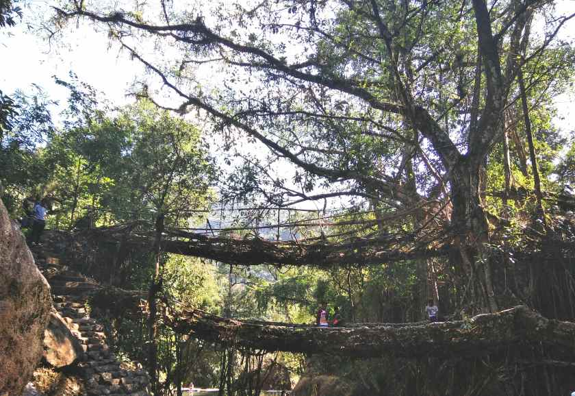Living Root Bridge-2