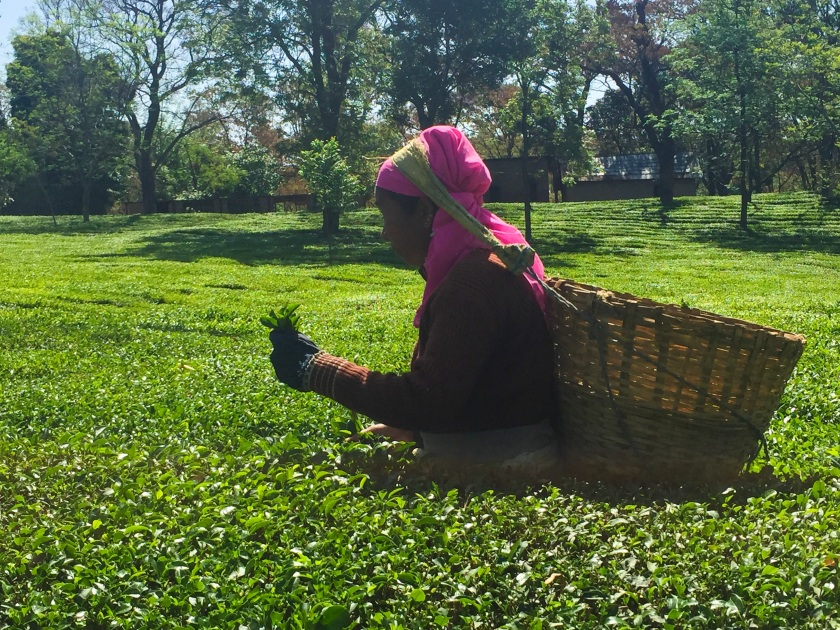Anandini Tea Trail